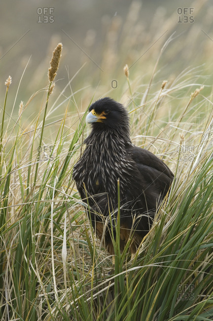 Portrait of a striated caracara in tall grasses.