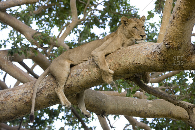 A lioness sprawled on a tree branch.