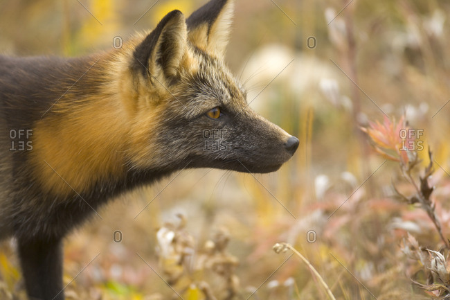 Close portrait of an alert red fox hunting in autumn hued tundra.