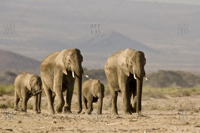 A group of breeding elephants walk through a dusty dry desert.