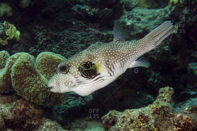 A White-spotted Puffer fish swimming in a coral reef.