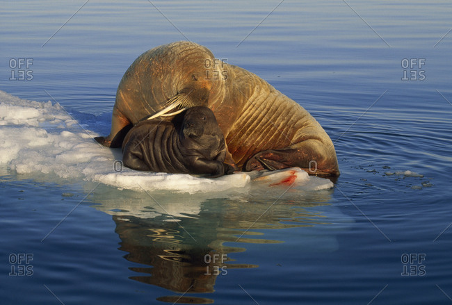 Atlantic walrus and newborn pup on ice in midnight sunlight.