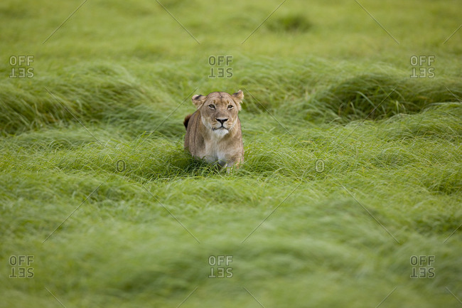 A lioness resting in wind-swept grass