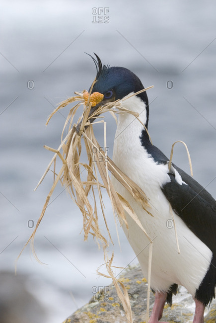 Portrait of a blue-eyed shag, Phalacrocorax atriceps, building a nest.
