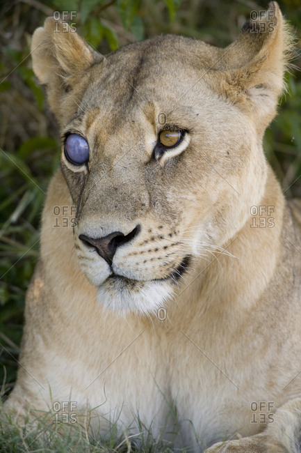 A lioness with an injured eye.