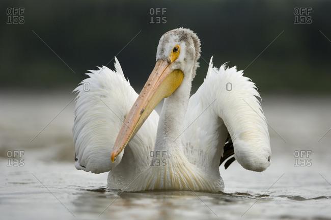 American white pelican in the Slave River rapids.