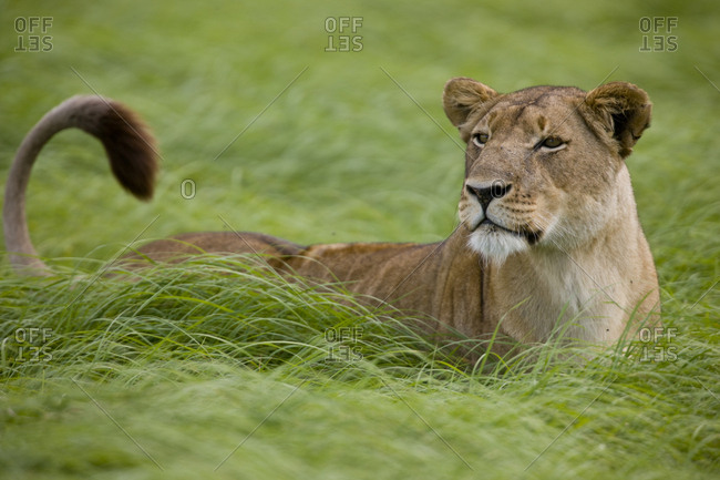 A lioness on the alert in wind-swept grass.