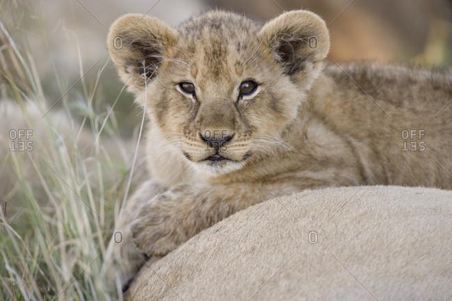 A lion cub resting.