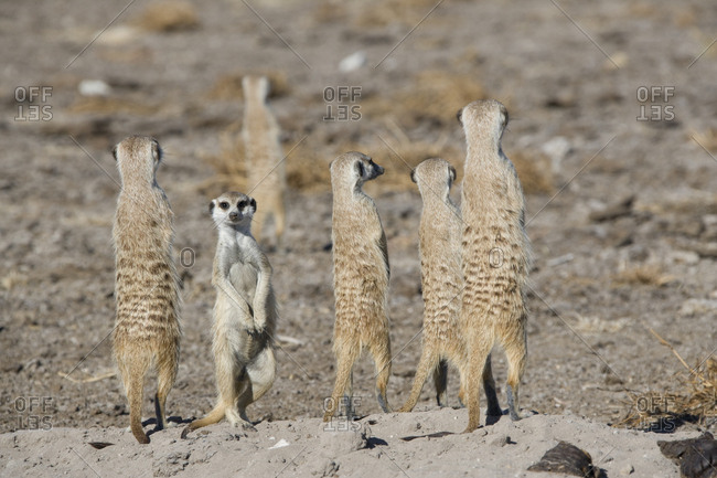 Meerkats on the edge of the Makgadikgadi Pans.