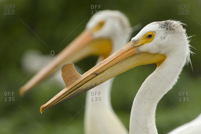 American white pelican with knob on it's bill in breeding season.