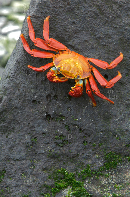 Sally lightfoot crab, Grapsus grapsus, foraging on volcanic rock.