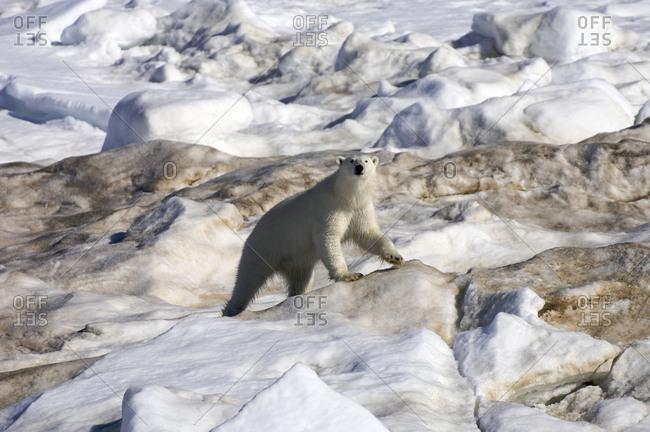 A polar bear (Ursus maritimus) on pack ice.