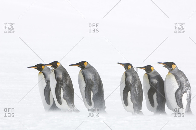 King penguins in a snow storm.