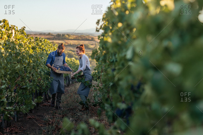 Smiling man and woman wearing aprons carrying crates with grape in vineyard and looking happy