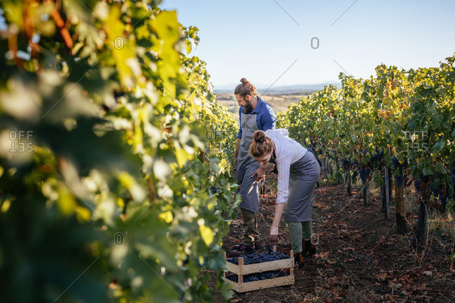 Couple working in vineyard