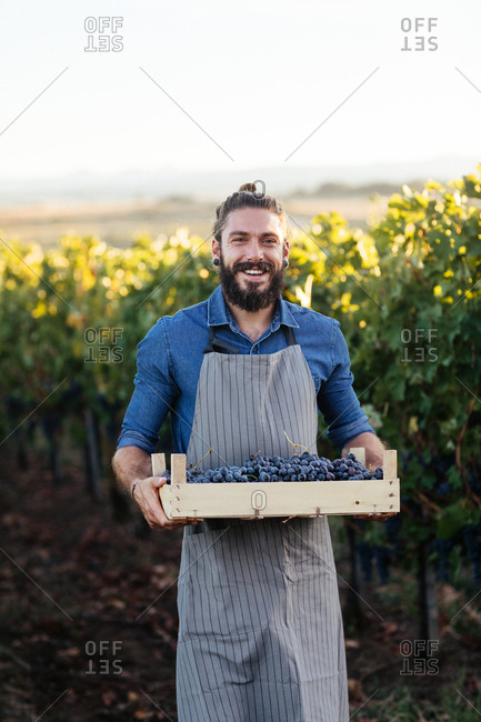 Portrait of man wearing apron and holding crate with grape in vineyard