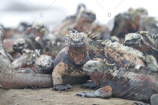 Grouping of Marine Iguanas