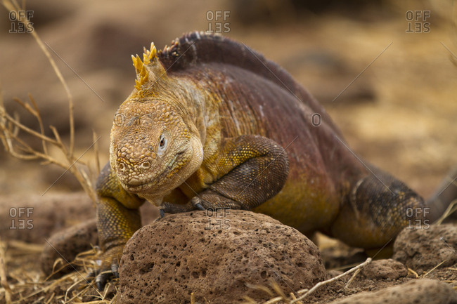 Land Iguana Head Down