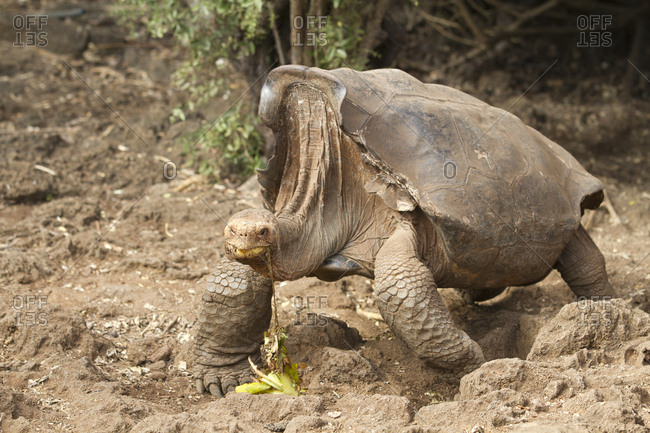 Saddleback Tortoise in Galapagos