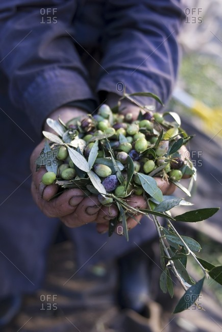 Person Holding Many Fresh Picked Olives