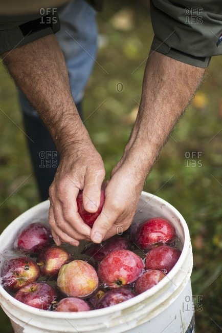 A Man Rinsing Fresh Picked Apples in a Bucket of Water