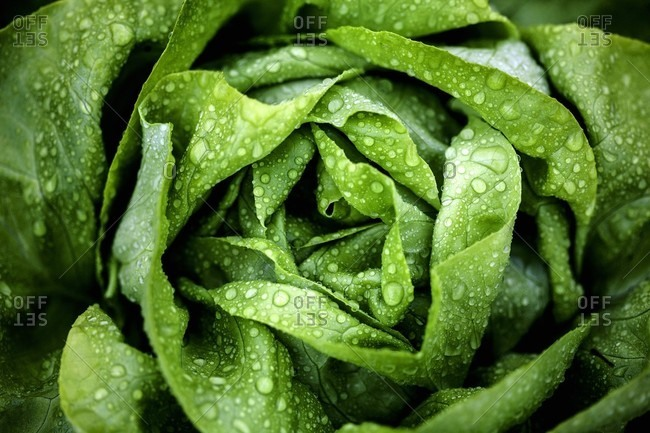 A freshly washed lettuce (seen from above)
