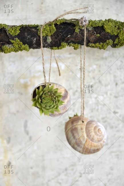 Tiny succulents planted in snail shells hung from lichen-covered branch