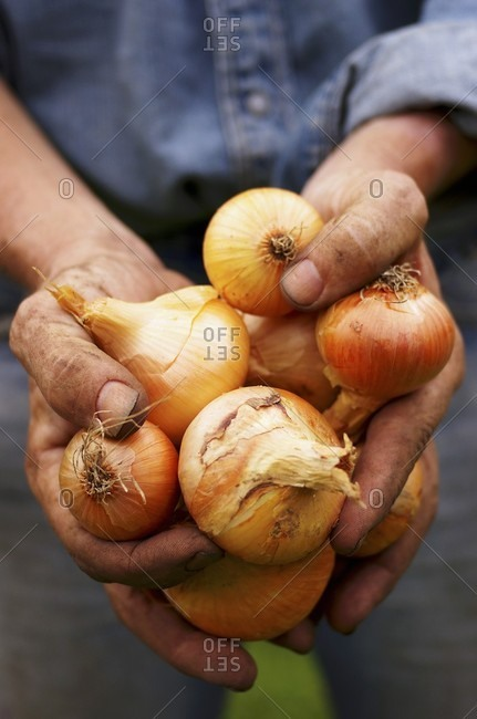 A man with dirty hands holding freshly harvested onions (Allium cepa)