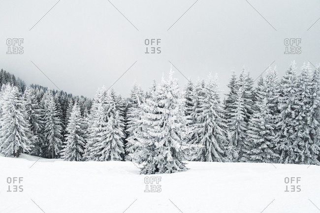 Snow-covered trees in the Alps