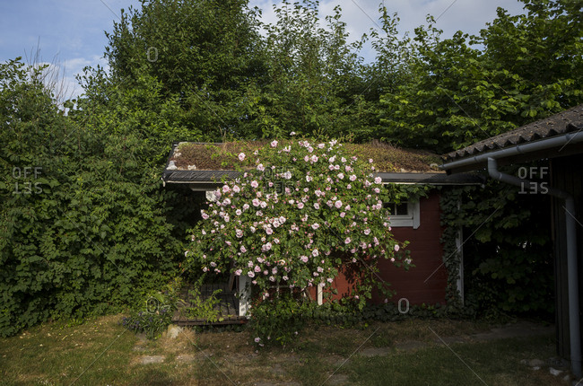 A flower-covered shed in the garden of a dascha in Hohenfelde, Germany.