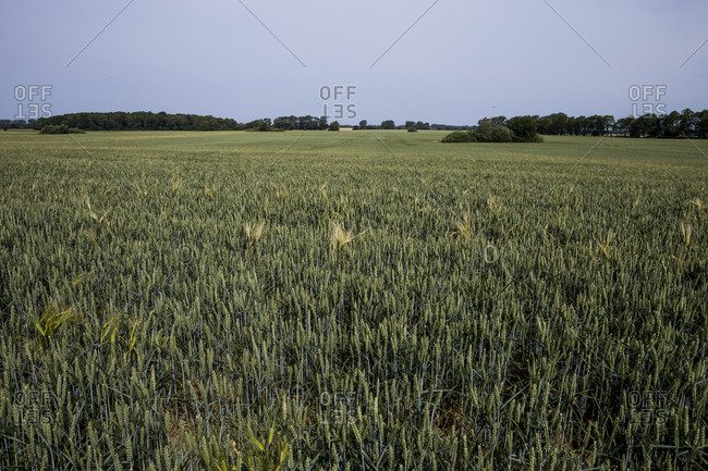 Ears of wheat ripen in a field at the beginning of summer in Altenpleen, Germany.