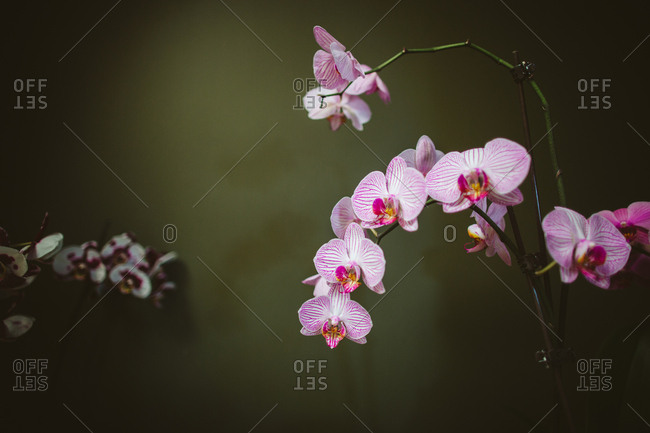 Orchid with many pink and white blossoms
