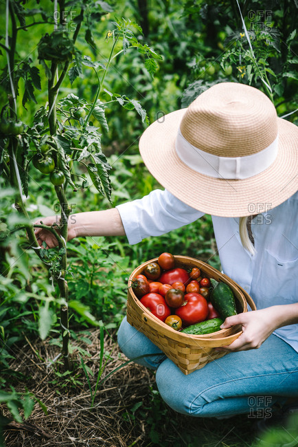 Gardner picking vegetables
