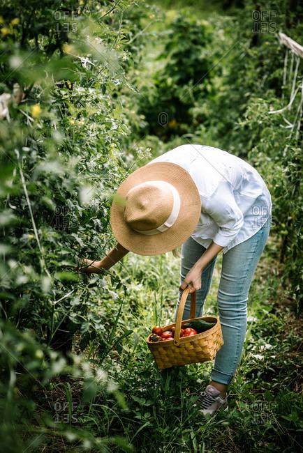 Gardner picking vegetables in a garden