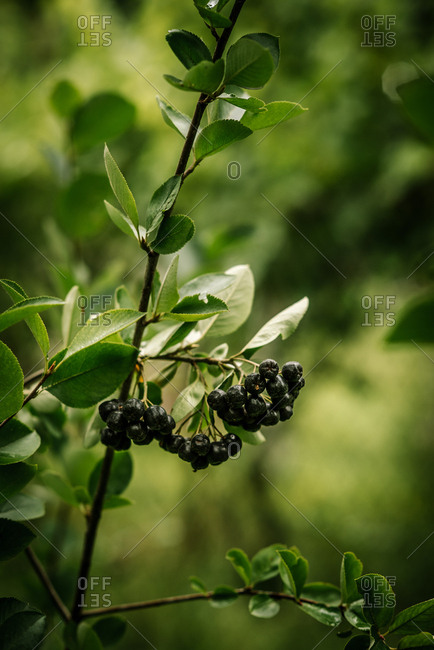 Black berries growing on a plant