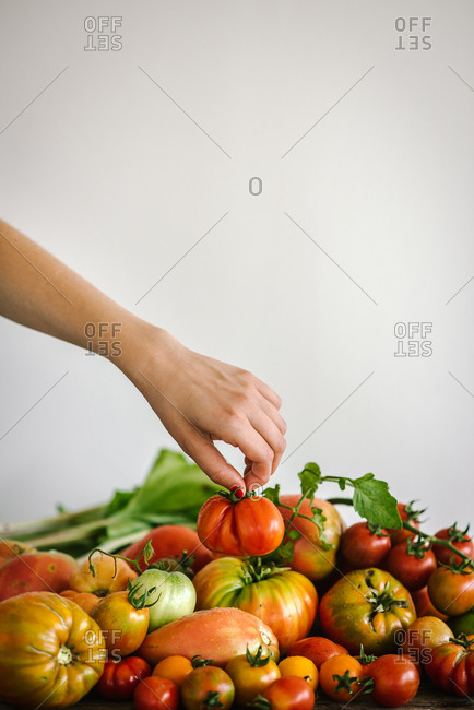 Hand holding a fresh picked tomato above a large pile of tomatoes
