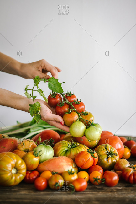 Hand holding a vine of fresh picked tomatoes over a pile of tomatoes
