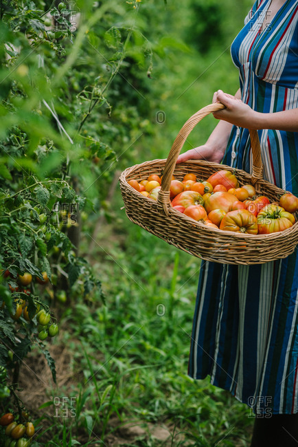 Woman holding large wicker basket of tomatoes in a garden