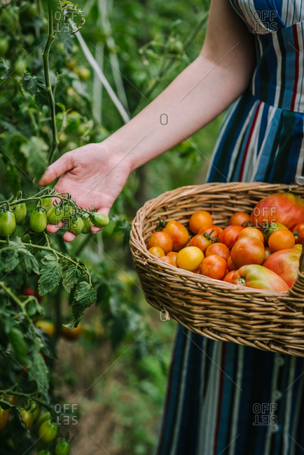Woman holding wicker basket while picking tomatoes in a garden