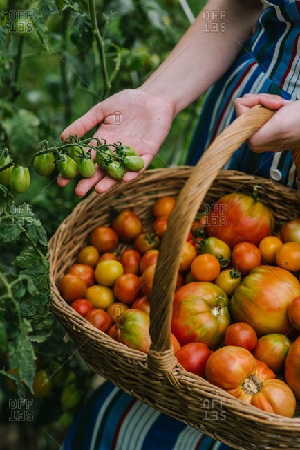 Woman holding wicker basket while harvesting tomatoes in a garden