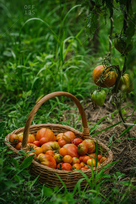 Large wicker basket of tomatoes in a garden