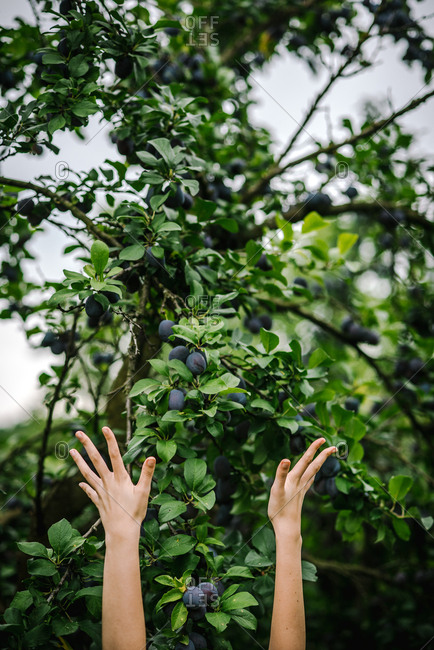Woman reaching up for plums in a tree