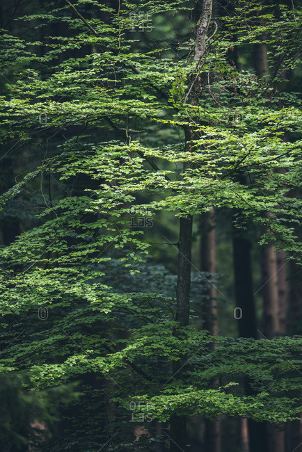 Green tree in a forest