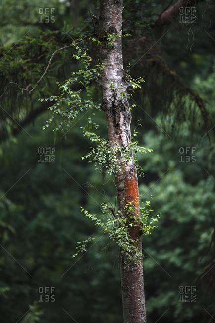 Birch tree in the woods