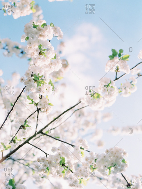 Blooming blossoms on a tree