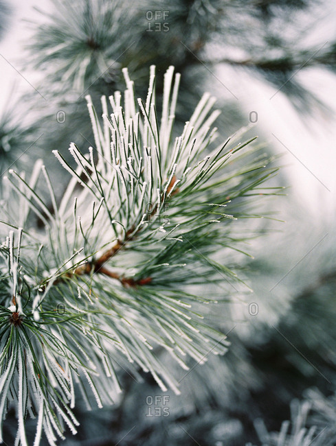 Close up of a frost covered pine branch