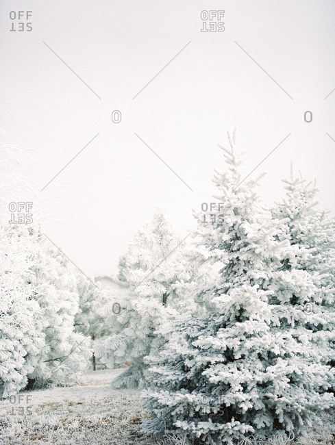 Snow covered pine trees in a forest