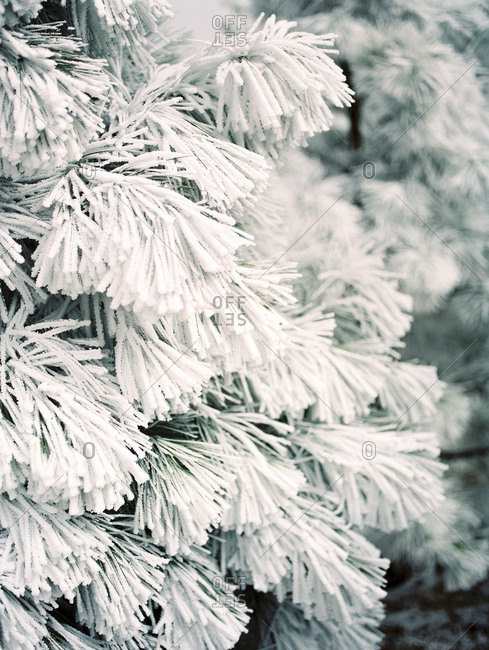 Snow covered pine tree close up