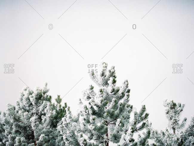 Snow covered treetops in a forest