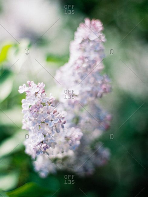 Close up of common lilacs